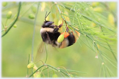 クマバチの画像 p1_33