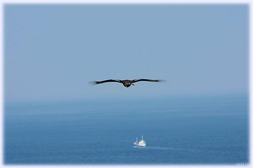鳴門海峡のトンビ