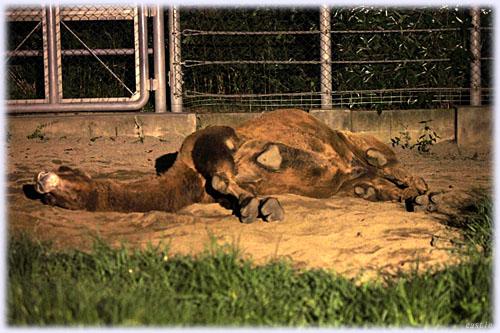 寝るラクダ