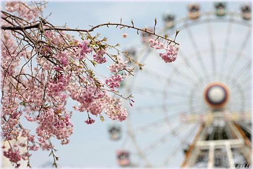 ベニーランドの桜