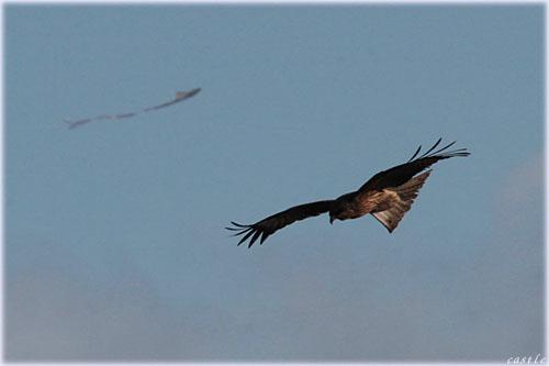 トンビと凧