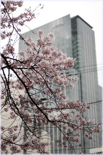 桜とウェスティン