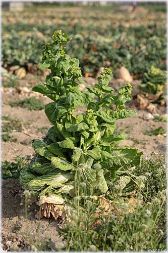 塔の立った白菜