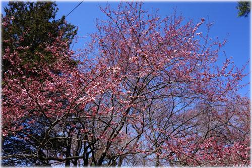 東北大学の桜