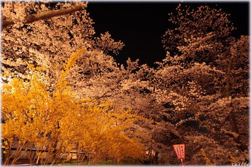 船岡城址公園(夜桜)