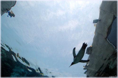 空飛ぶペンギン@旭山動物園