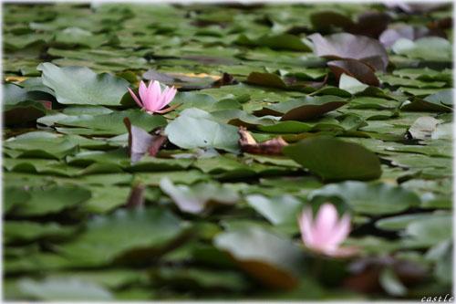 深大寺の水連