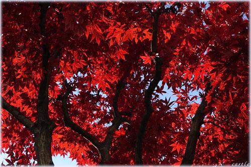 愛宕上杉通りの紅葉