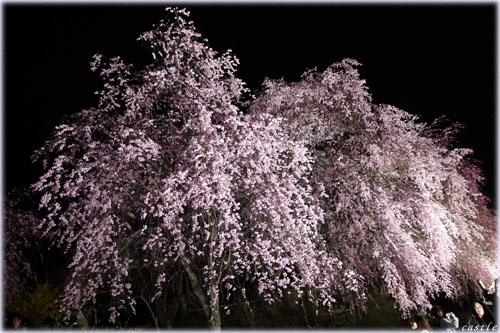 船岡城址の桜