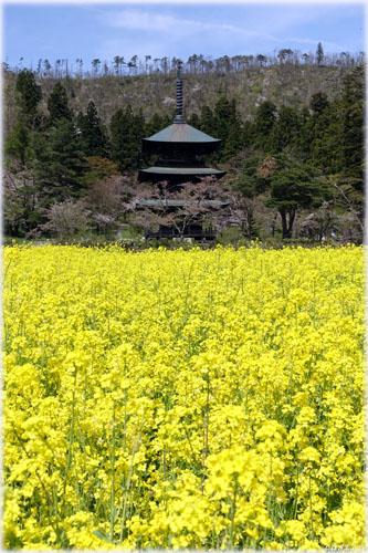 菜の花と三重塔