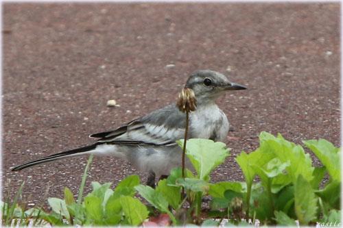 セキレイの幼鳥?