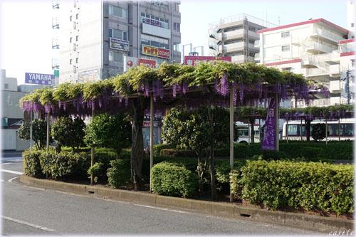 春日部駅前の藤