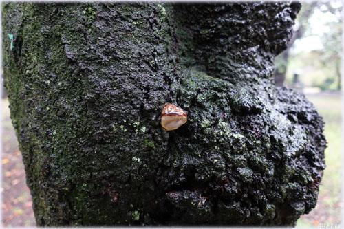 桜の木に生えたキノコ