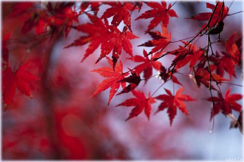 長瀞の紅葉