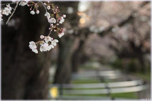 桜@千鳥ヶ淵