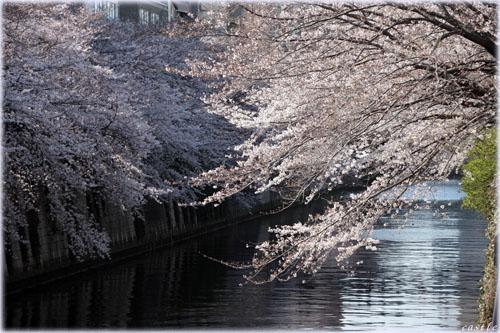 桜@目黒川