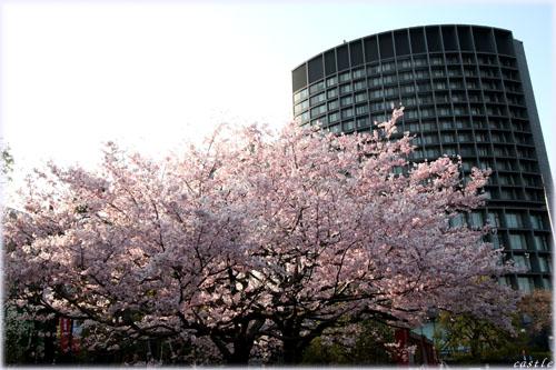 桜@国立劇場