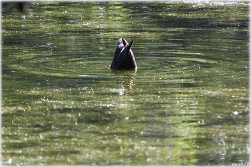 鴨の素潜り